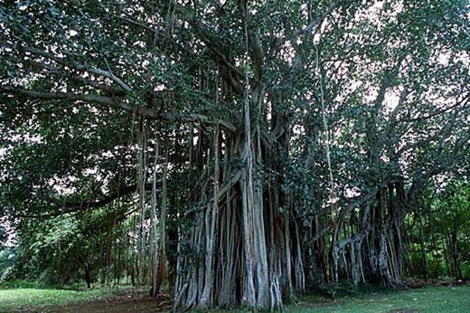 mauritius tambalacoque tree Calvaria Tree