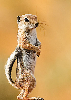 white tailed squirrel White tailed Antelope Squirrel