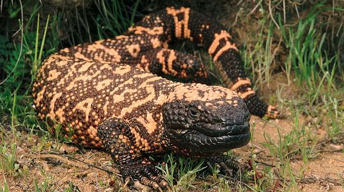 gilamonster1 10 Animals You Never Knew Were Poisonous