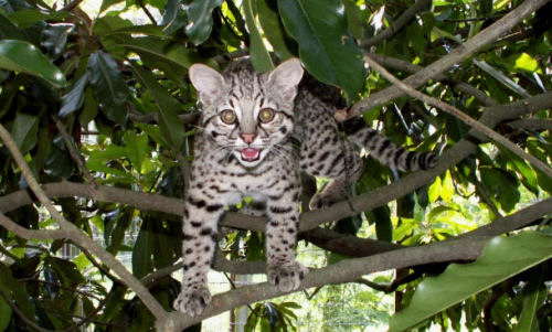 Geoffroy's cats are small, but extremely potent hunters