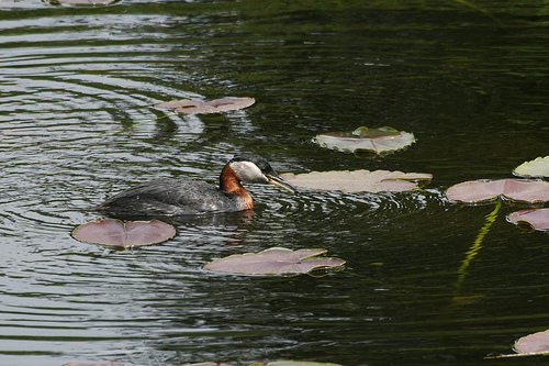 2574624864 95c9353b5e Red necked Grebe